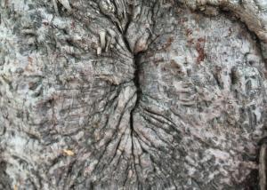 Ett träd-anus