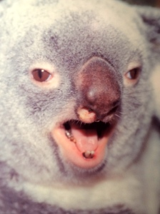 Koalabjörnar